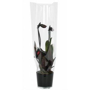 Paphiopedilum Frauenschuh, Black Jack in schwarzem Glas 2 Zweig