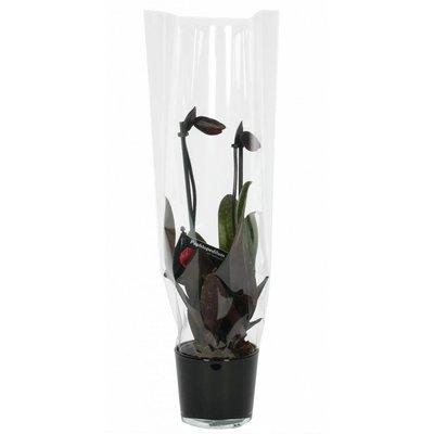 Paphiopedilum Venusschoentje, Black Jack in zwart glas 2 tak