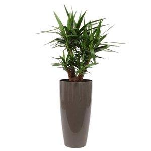 Yucca ramifié, compteur d'eau ornemental pot + L