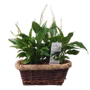 Spathiphyllum Yess doux dans le panier