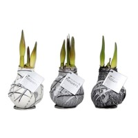 Amaryllis Amaryllis Kein Wasser, Blumen Waxz® Kunst Vermeer