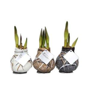 Amaryllis Amaryllis Pas de fleurs d'eau Waxz® Art Rembrandt