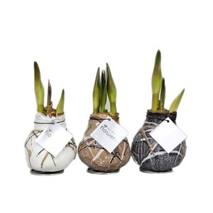 Amaryllis No Water Flowers Waxz® Art Rembrandt