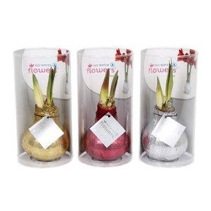 Amaryllis Pas de fleurs d'eau des paillettes