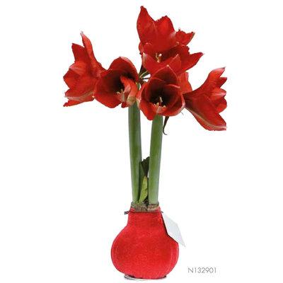 Amaryllis Amaryllis Velvet Touch Wine (kein Wasser, Blumen)