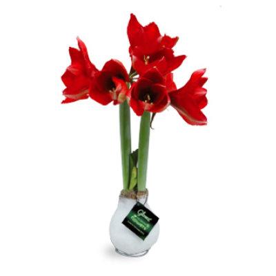Amaryllis Kein Wasser Blumen in Glowz® Sleeve