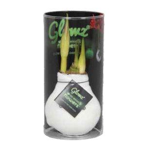 Amaryllis Kein Wasser, Blumen Glowz® in Sleeve