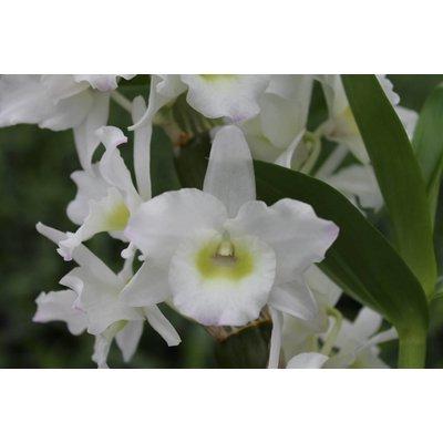 Dendrobium Nobilé, double Arch