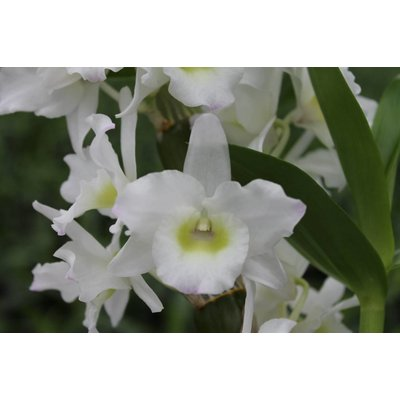 Dendrobium Nobile, Double Bow