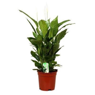 Spathiphyllum Vivaldi, Fair Flora