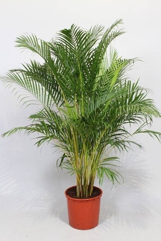 Areca palm qualit s de purification de l 39 air florastore for Acheter plante interieur