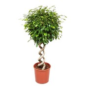 Ficus exotica double spiral