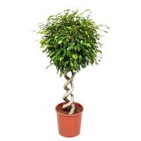 Ficus exotica double spirale, foire florale