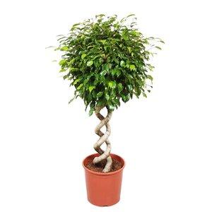 Ficus Exotica Doppelspirale, Fair Flora