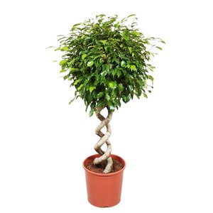 Ficus exotica double spirale