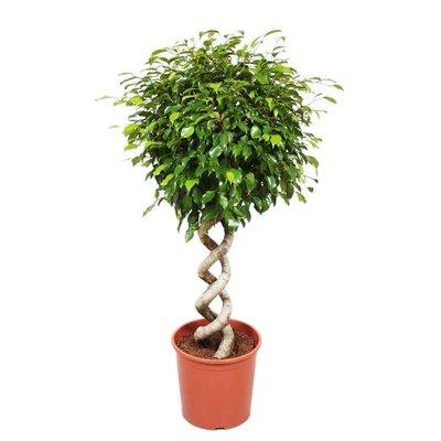 Ficus Exotica Doppelspirale