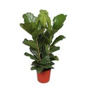 Ficus Lyrata tuft 3 PP 170 cm