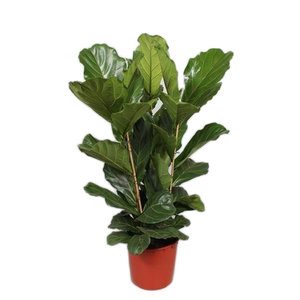 Ficus Lyrata touffe 3 PP 130 cm