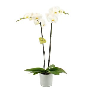 Phalaenopsis 2 branch bijoux diamond in milk glass
