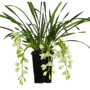 "Cymbidium ""Ice Cascade"" 5-7 branches"