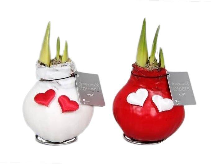 Amaryllis ampoule de cire valentine florastore for Acheter amaryllis