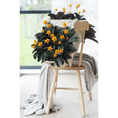 Calathea crocata tass mania 5-6 fleurs
