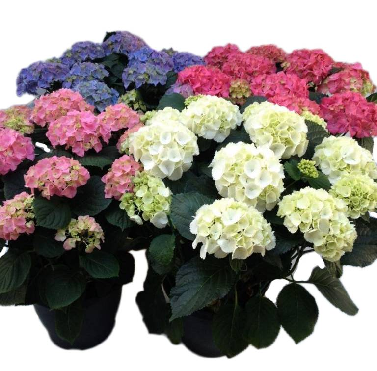 hydrangea hortensia top quality florastore. Black Bedroom Furniture Sets. Home Design Ideas