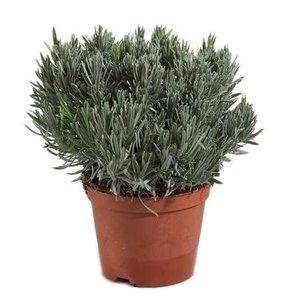 Lavendel angustifolia struik
