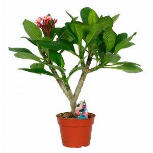 Plumeria Hawaiian second branch