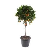 Citrus Calamondin on stem 160 cm