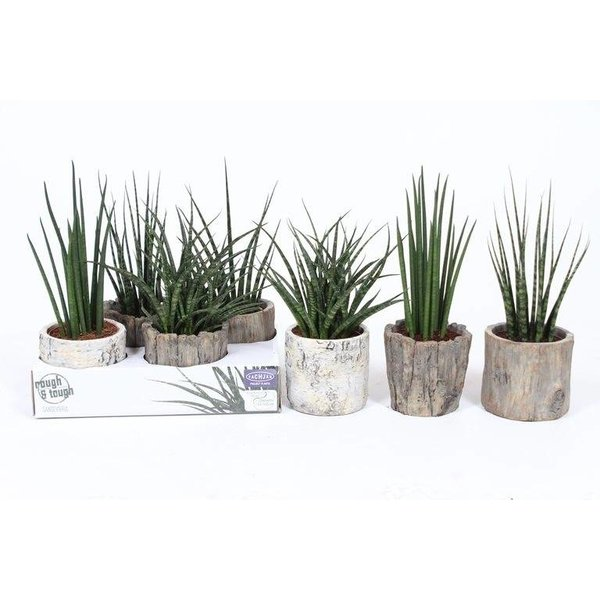 Sansevieria Luxe mix in Wood look pot