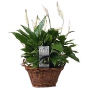 Spathiphyllum Sweet Yess in basket