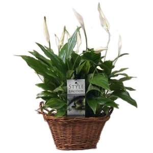 Spathiphyllum Sweet Yess in mand