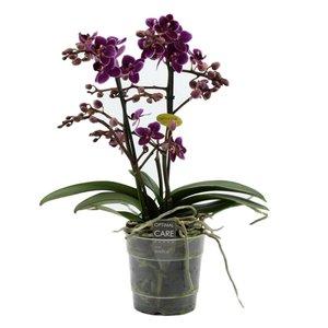 Phalaenopsis lila Prinzessin zweiter Zweig