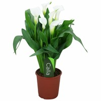 Zantedeschia Calla Kristall Blush weiße Blume 5+