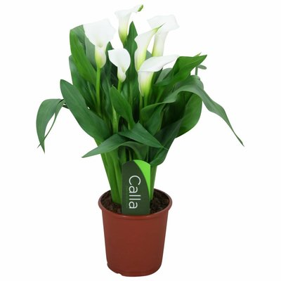 Zantedeschia Calla Chrystal Blush white 5+ flower