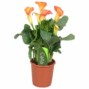 Zantedeschia Calla Kapitän Fuego orange