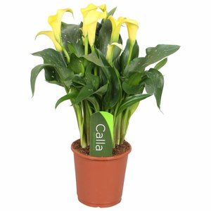 Zantedeschia Calla Sunclub yellow 5 + flower