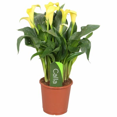 Zantedeschia Calla Sunclub yellow 5 + flower
