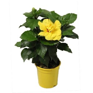 Hibiscus Koenig yellow