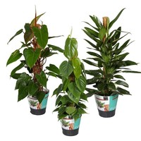 Philodendron Philodendron Mixed 3 Stk
