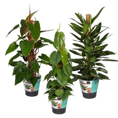 Philodendron Mixed per 3 pieces