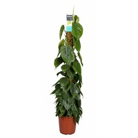 Philodendron Scandens mosstok 120 cm