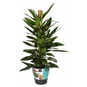 Philodendron Philodendron Cobra mosstok 80 cm