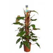 Philodendron Roter Smaragd 120 Moos