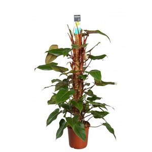 Philodendron Emeraude rouge 120 mousse