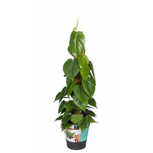 Philodendron Philodendron Scandens mosstok 80 cm