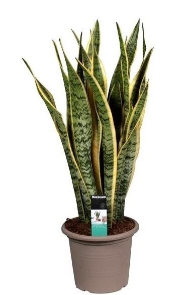 sansevieria laurentii a besoin de peu d 39 eau florastore. Black Bedroom Furniture Sets. Home Design Ideas