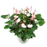 Anthurium Weiß Bowl XL