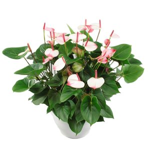 Anthurium White Scale XL